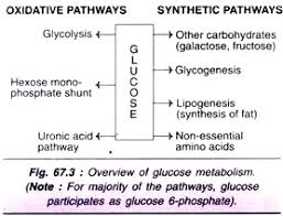 Carbohydrate Metabolism Chart Metabolism Of Carbohydrates 10 Cycles With Diagram