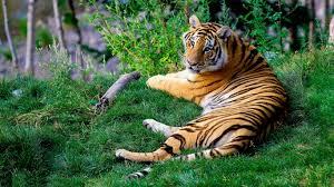 high resolution tiger wallpaper 1366x768 jpg