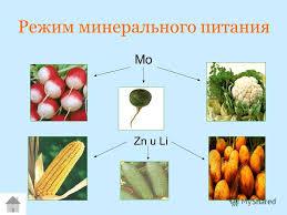 Презентация на тему Содержание нитратов в продуктах растениево  6 Режим минерального питания mo zn u li