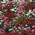 Buy 40 plus 20 FREE large plug plants <b>Bellis</b> Bellissima: £19.99 ...