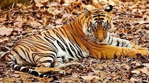 Image result for tigers in india