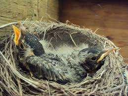 Baby Robins Growth Chart Baby Robins Daily Photos From Egg To Empty Nest Happy