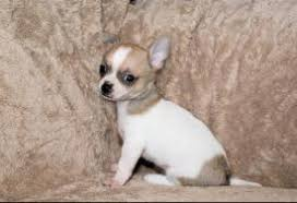 chihuahua dogs in virginia