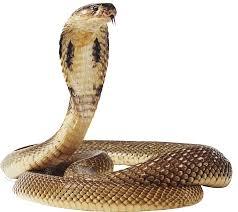 cobra snake png transpa image