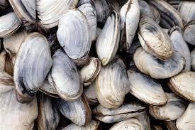 Clam Identification Chart Shellfish Identification Maine Department Of Marine
