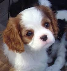 blenheim cavalier puppies