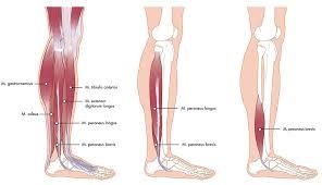 Anatomie voet spieren