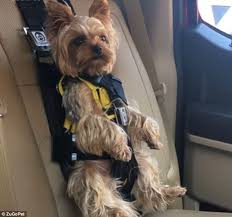 this silky terrier in a harness has sparked a warning from new zealand animal activists
