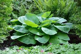 17 diffe types of hostas garden
