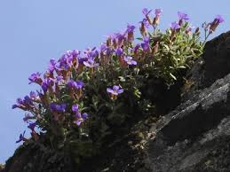 Aubrieta columnae | Manual of the Alien Plants of Belgium