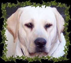 lab pups central florida puppies