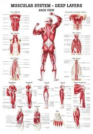 Laminated Anatomical Charts The Muscular System Deep Layers Back Laminated Anatomy