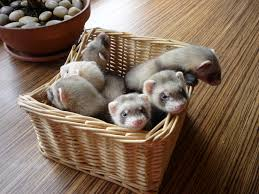 482 best images about Ferrets on Pinterest