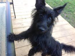black terrier mix. Plain Terrier Found Dog U2013 Female Black Terrier Mix Intended S