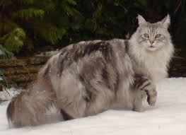Weight Range For Adult Maine Coons Mainecoon Org