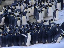 emperor penguin huddle. Delighful Huddle Penguin Huddling Behavior Is The New Proxy For Climate Change  Watts Up  With That On Emperor Huddle U