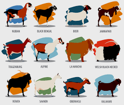 Dairy Goat Breeds Various Types Of Goat Breeds Goataid