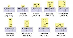 Tabla De Aminoácidos Funciones Tipos Y Características