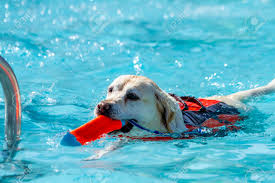 pool water with float. Delighful Water Stock Photo  Yellow Labrador Retriever Dog Playing Fetch In Swimming Pool  Water With Toy Mouth And Float Device On Back On Pool Water With Float