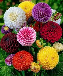 colorful hd wide screen flowers