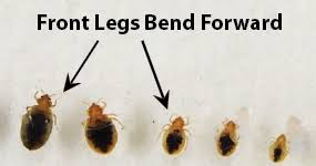 View Bed Bug Pictures In All Life Stages Zappbug