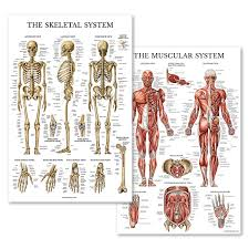 Laminated Anatomical Charts Palace Learning Muscular Skeletal System Anatomical Poster Set Laminated 2 Chart Set Human Skeleton Muscle Anatomy Double Sided 18 X 27