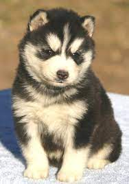 purebred siberian husky puppies for