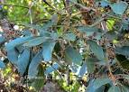 """Image result for """"Persea pyrifolia"""""""