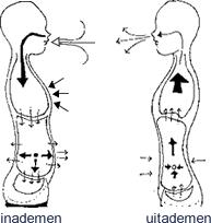 Afbeeldingsresultaat voor ademen via buik