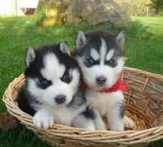 cute dogs and puppies husky. Brilliant Husky Blue Eyes Cute And Puppy Image Throughout Cute Dogs And Puppies Husky I