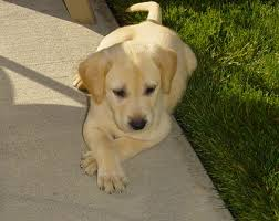 yellow puppy