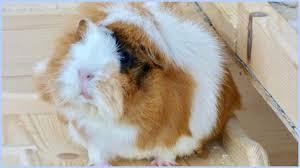 diy toys for guinea pigs how to play with your guinea pigs
