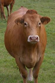Limousin Cattle Wikipedia
