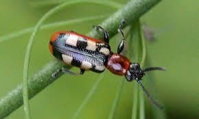 <b>Спаржа</b> жук - Asparagus beetle - qwe.wiki