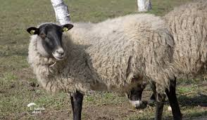 Резултат слика за ovce