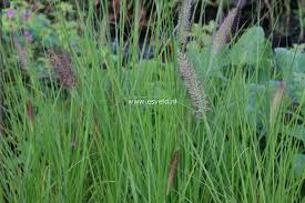 Picture And Description Of Pennisetum Alopecuroides Cassian