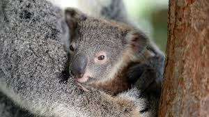 koala joey new ngsversion jpg