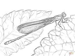 Cuscus Animal Coloring Pages Australian Damselfly Courtoisiengcom