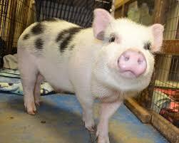 About <b>Pet Pigs</b> | Ross Mill Farm