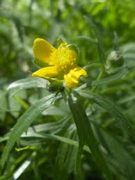 Ranunculus auricomus - Wikipedia