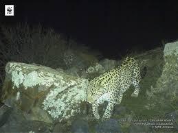caucasian leopard wwf armenia