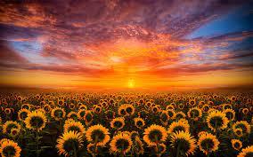 Flower desktop wallpaper, Sunflower ...