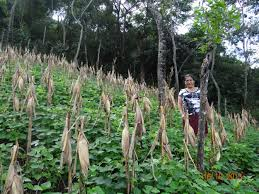 dona celia stands in her maize and bean field the maize has been doubled