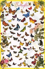 24x36 Variety Of Butterflies Educational Chart Poster