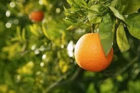orange fruit tree before harvest spain