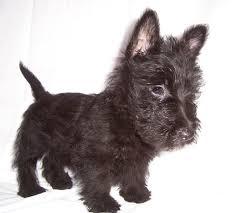 scottish terrier puppies.  Terrier Scottish Terrier Puppies Dogs For Sale In Colorado Springs Colorado  CO 19Breeders Lakewood And Terrier Puppies P