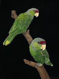 Lilac crowned Parrots - Painting Art by Priscilla Baldwin