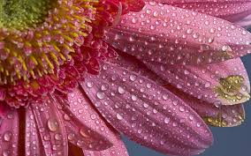 Macro flower water droplet hd wallpaper ...