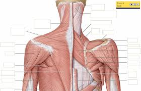 Neck Muscle Chart Back Of Neck Anatomy Diagram Catalogue Of Schemas