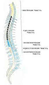 Реферат Физиология спинного мозга all referats com Сайт  Средний диаметр спинного мозга равен 1 см Спинной мозг имеет два утолщения шейное и пояснично крестцовое в толще которых располагаются нервные клетки